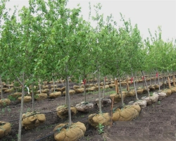 Row of Nursery Trees